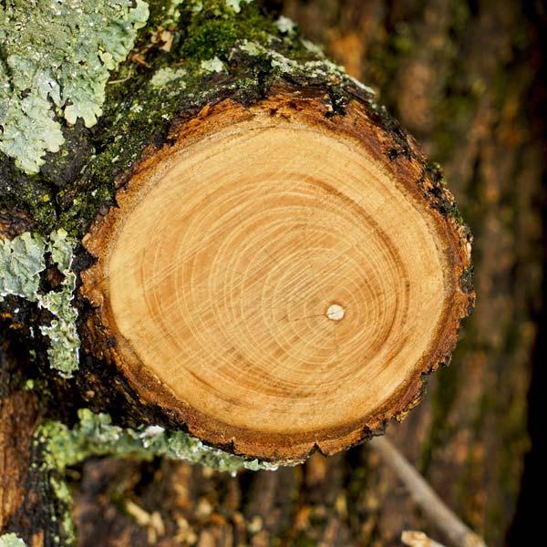Imagen de un tronco cortado donde pueden verse todas sus anillos