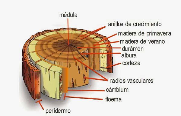 Ciclo de vida de un árbol para determinar su edad