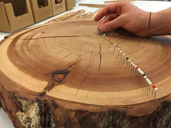 Marcaje de cada anillo del tronco para determinar su edad