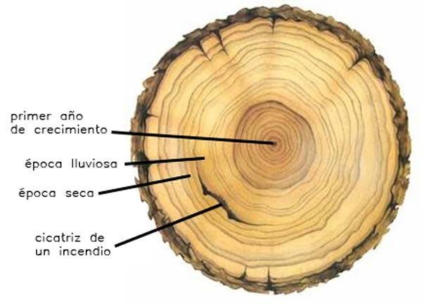 C mo se puede saber la edad de un rbol en muebles lufe for Cuanto mide un arbol